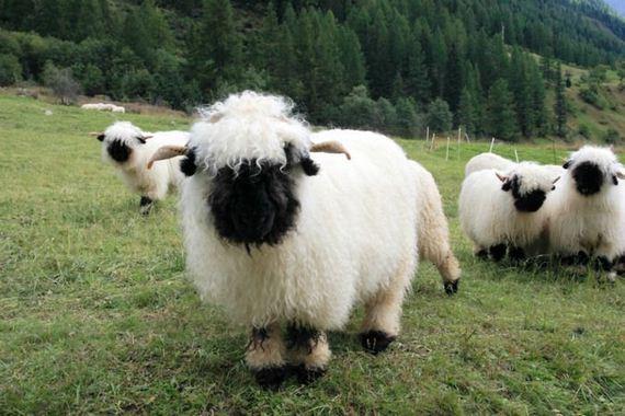 06-valais_blacknose_sheep