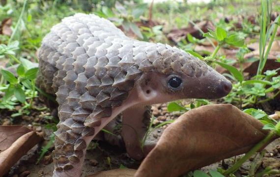 07-baby_pangolin_facts
