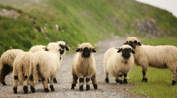 07-valais_blacknose_sheep