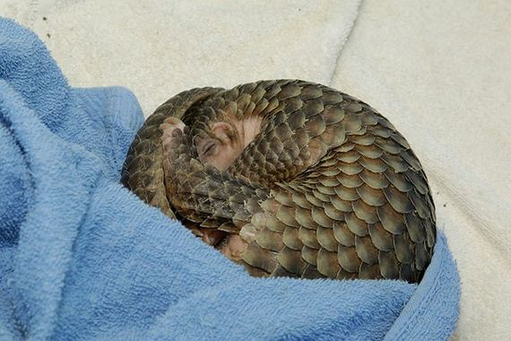 08-baby_pangolin_facts