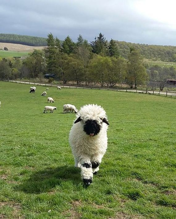 08-valais_blacknose_sheep