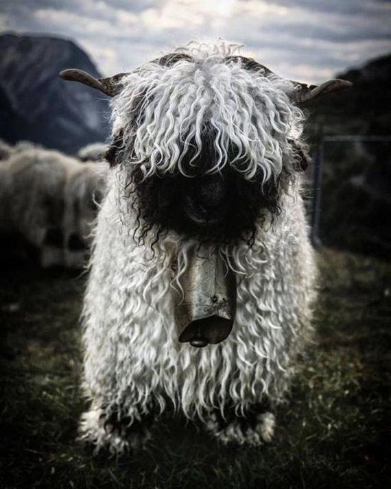 09-valais_blacknose_sheep
