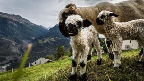 10-valais_blacknose_sheep