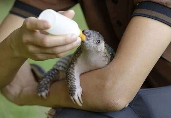 11-baby_pangolin_facts