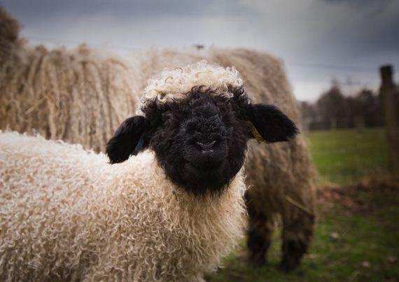11-valais_blacknose_sheep