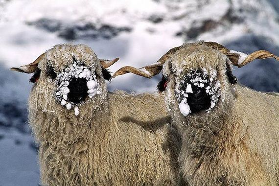 12-valais_blacknose_sheep