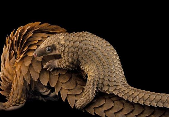 15-baby_pangolin_facts