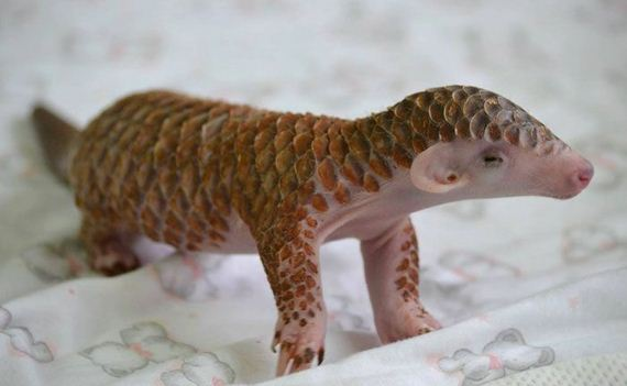 19-baby_pangolin_facts