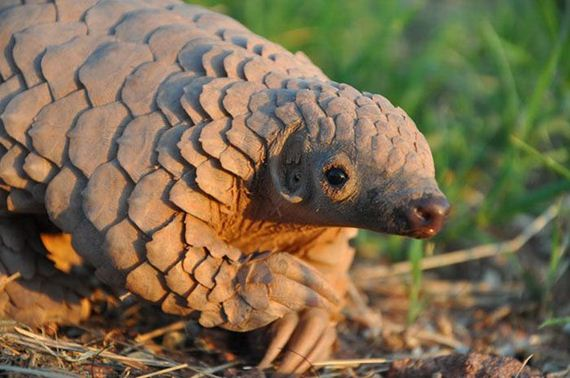 20-baby_pangolin_facts