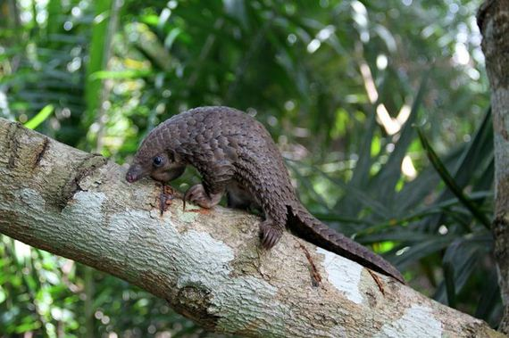 22-baby_pangolin_facts