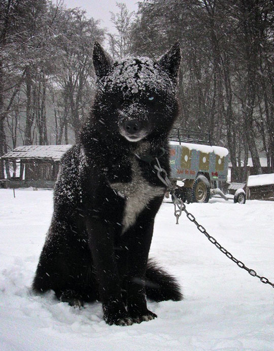 black-wolf-hybrid-snow