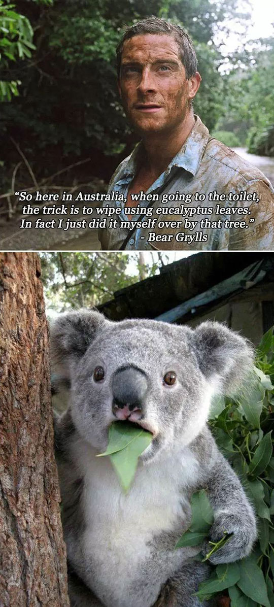 cool-bear-grylls-eucalyptus-tree-koala
