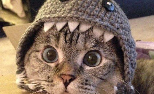 cool-cat-shark-hat-big-eyes