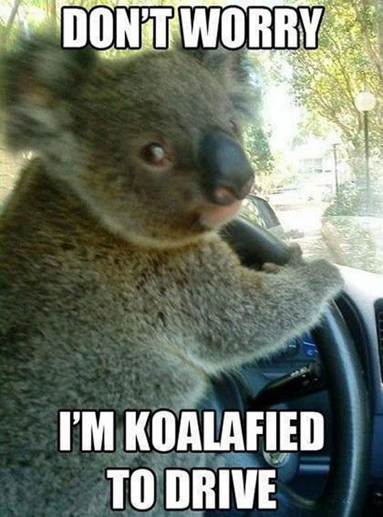 cool-koala-driving-car-wheel