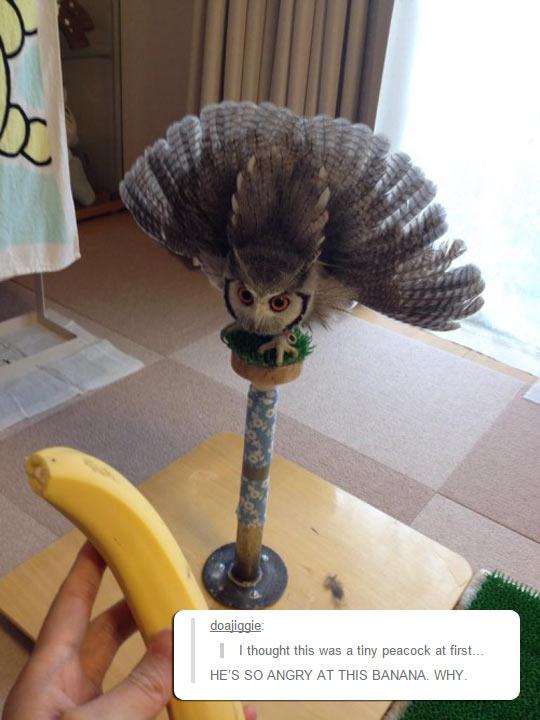 cool-owl-mad-banana-angry