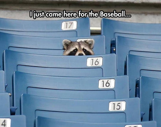 cool-raccoon-baseball-stadium-seats-spying
