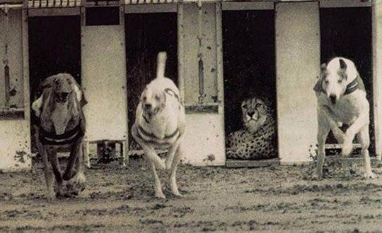 cool-running-hounds-jaguar-sleeping