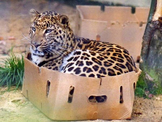 cool-tiger-box-sitting-fit-cat-behave