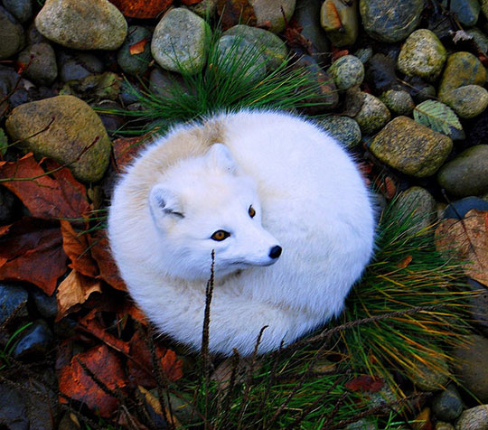 cool-white-arctic-fox