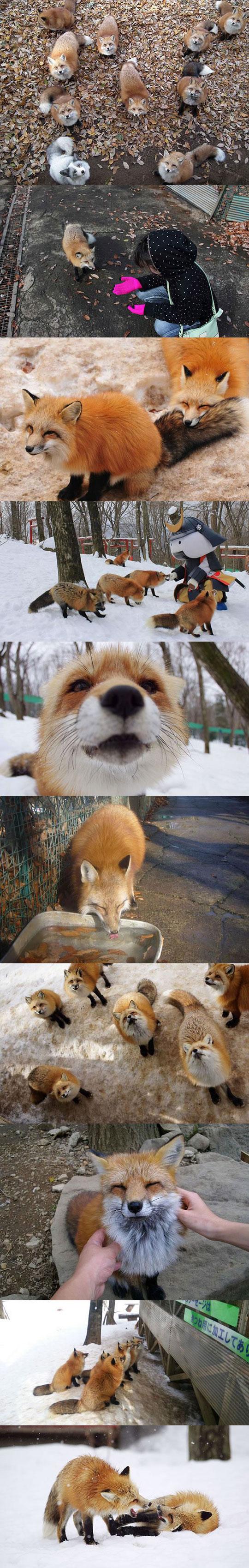 fox-village-japan-cute