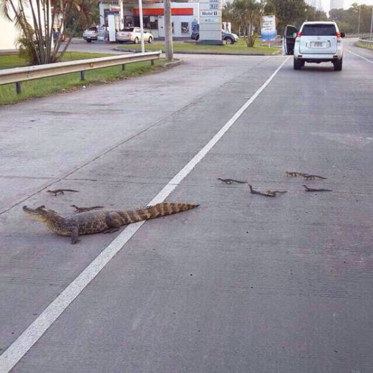 funny-crocodile-family-road