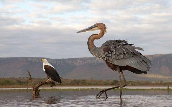 01-heron_eagle