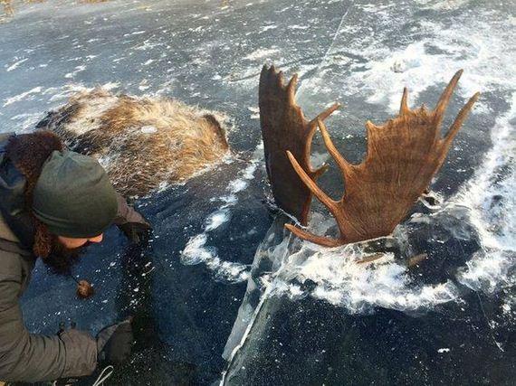 01-moose_stuck