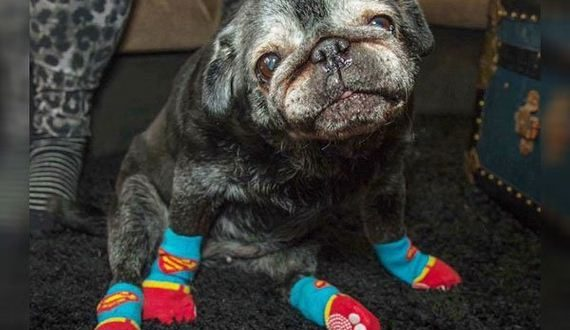 01-old-pug-gets-new-lease