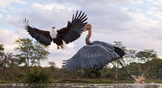 02-heron_eagle