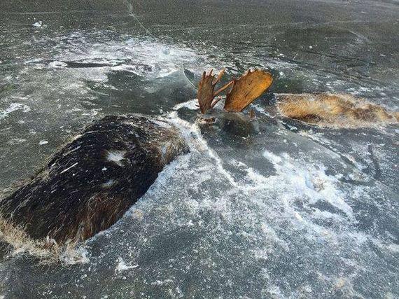02-moose_stuck