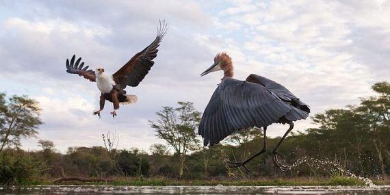 03-heron_eagle