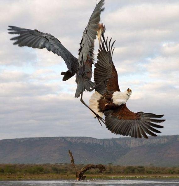 04-heron_eagle