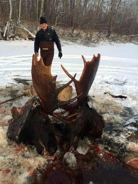 04-moose_stuck