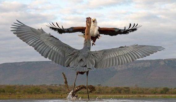 05-heron_eagle