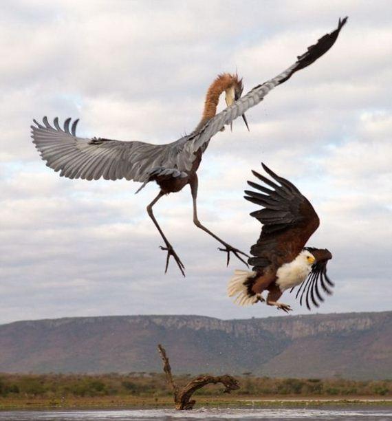 06-heron_eagle
