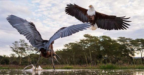 07-heron_eagle