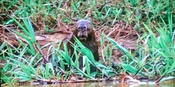 07-shocked_capybara