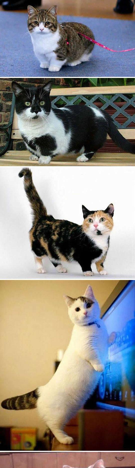 1-cute-cats-small-legs-munchkin