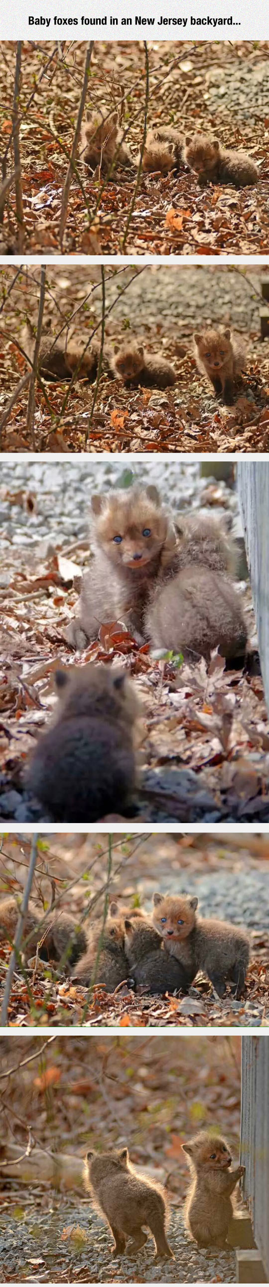 1-funny-backyard-baby-foxes-new-jersey