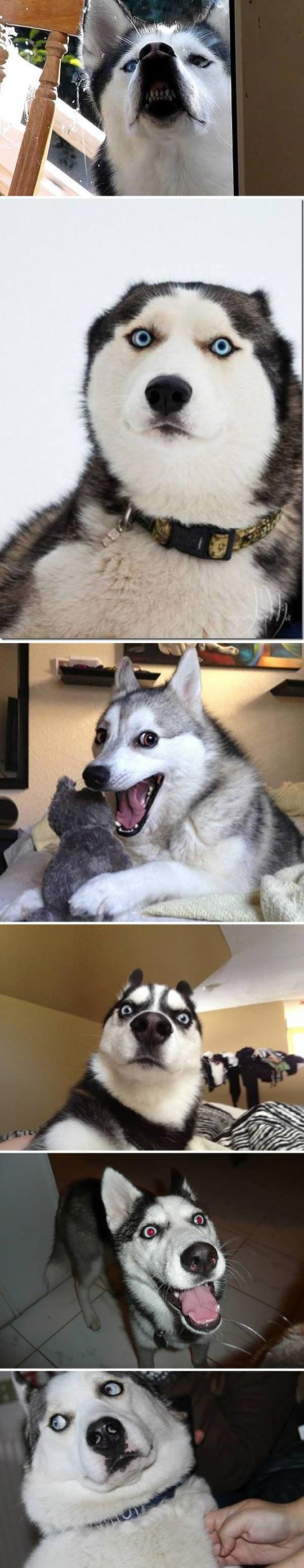 2-funny-husky-dog-siberian-faces-smile