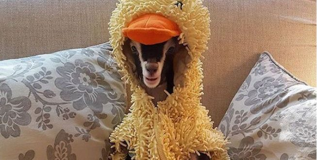 duck-costume-goat0