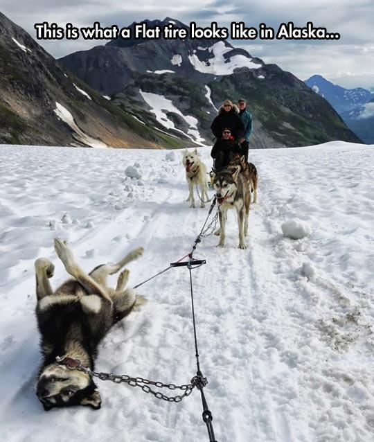 cool-alaska-sleigh-dog-husky