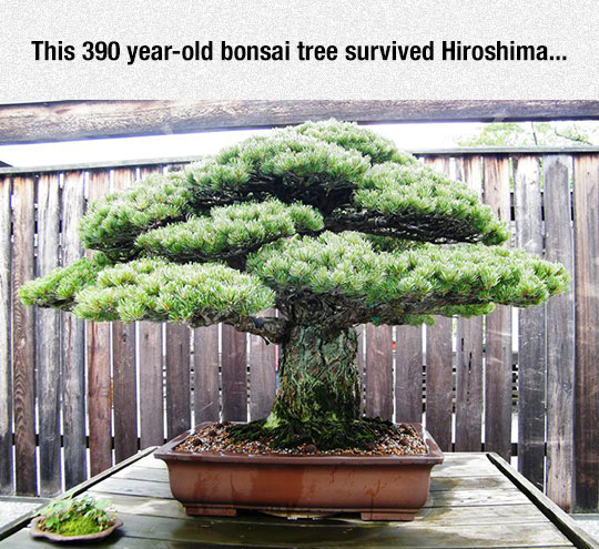cool-old-bonsai-tree-hiroshima