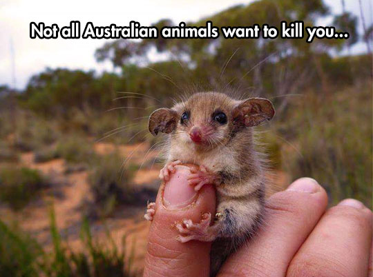 cute-little-australian-mouse