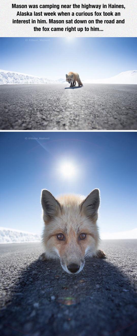 funny-alaska-highway-fox-camping-face