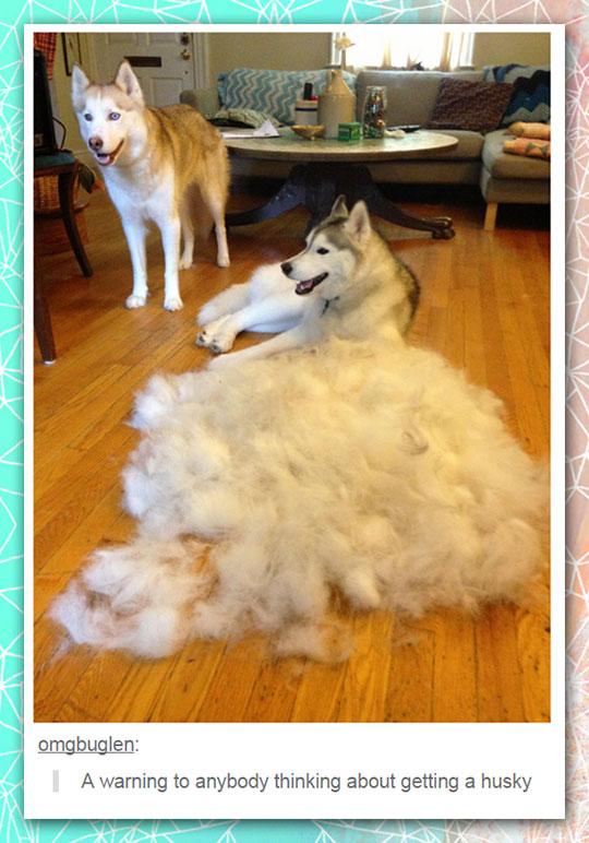 funny-husky-hair-ball-room