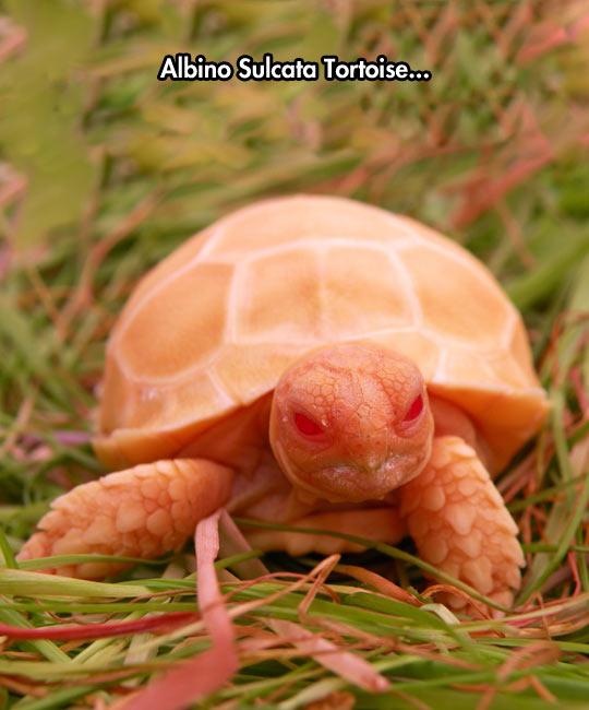 funny-albino-sulcata-tortoise-baby