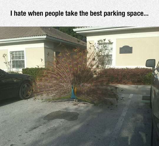 funny-bird-parking-slot-peacock