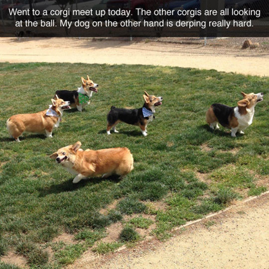 funny-corgi-dogs-looking-ball