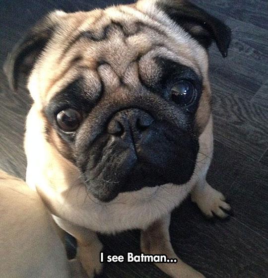 funny-dog-forehead-batman-sign